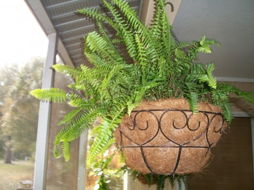 The rampaging, fast-spreading, shaggy Boston fern is a native of Florida and has nothing to do with the city of Boston at all. An easy fern to grow, providing it is kept humid, it spreads rapidly and quickly outgrows any container. This is a section
