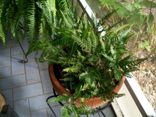 The Creeping Ground Fern spread out but never higher than ten to twelve inches, covering the floor of the forest and gobbling up leaf litter. A hearty feeder, this one requires feeding twice a month while in a pot.