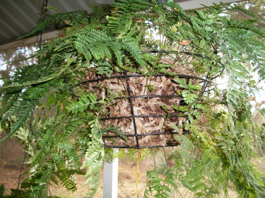 The Rabbit's Foot Fern spreads by the hairy rhizomes for which it is named. This particular fern spent last summer under an oak tree in a plastic hanging pot. This autumn, on my return, I found the pot completely encased in a tangle of roots, so plac
