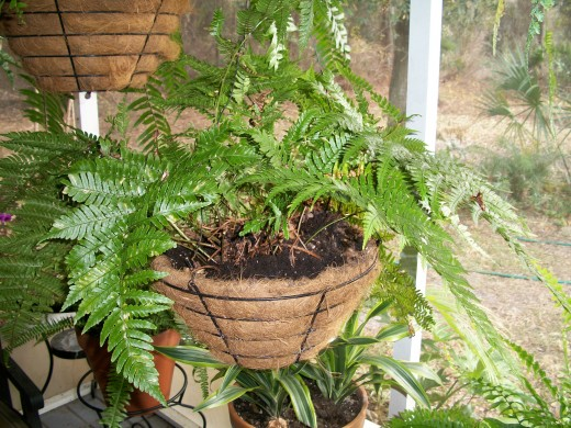 The Autumn fern is so named for it's amazing display of colored fronds in the early fall -- bright yellow, red and purple-red fronds decorate the plant for six weeks or so, and then, like magic, it becomes once again a sedate green fern.