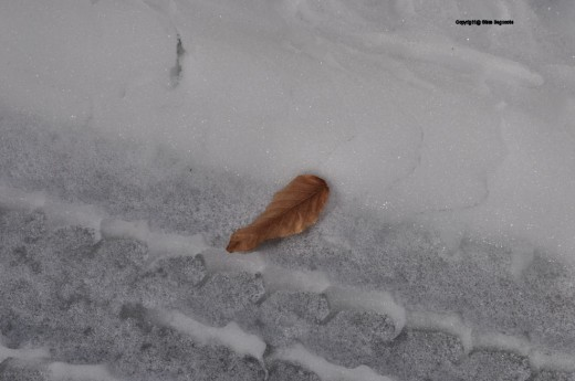 A beech leaf that rode out window, rests in the ice of a tire track in the drive.