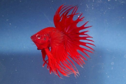 Betta fish diseases can be prevented for Betta fish diseases