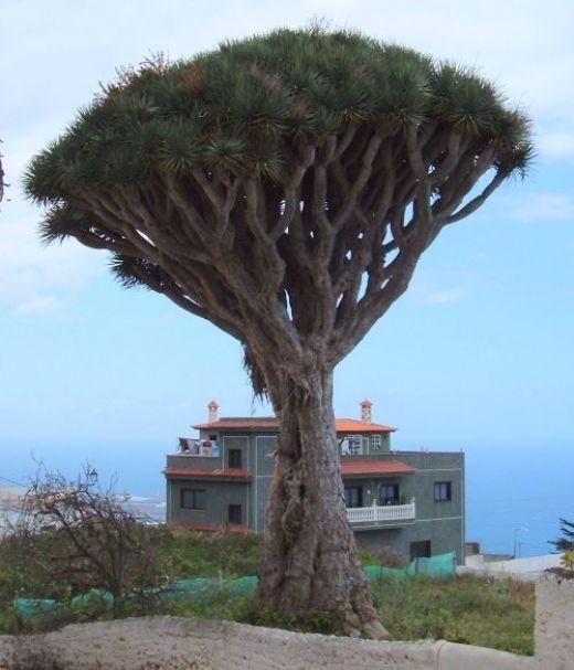Dragon Tree in San Juan del Reparo