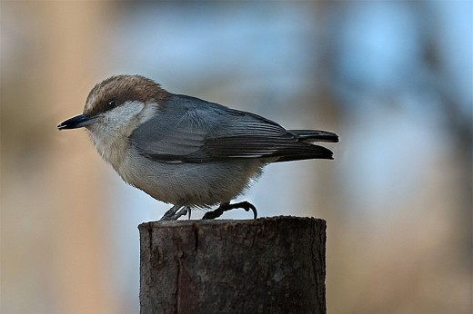 Brown-headed Nuthatch