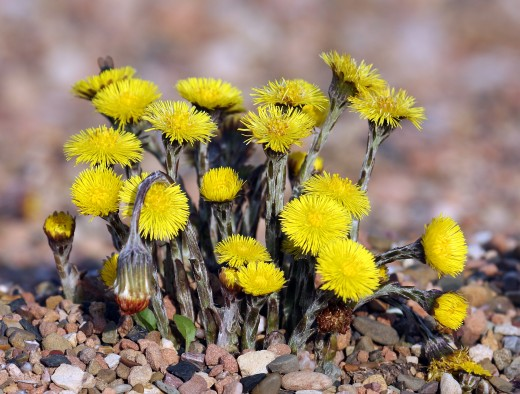 The flowers of coltsfoot brighten the lane during early spring. Note the lack of leaves. Picture courtesy of Andreas Trepte