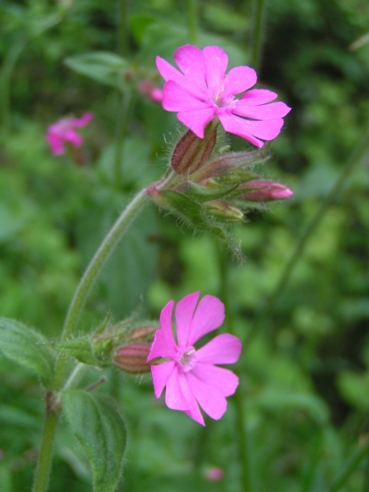 The pinkish red flowers of the red campion enhance the spring flora. Photograph courtesy of Etxrge