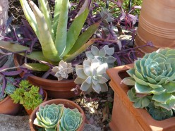 Succulents: The Plants of the Future?