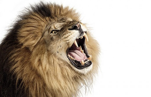 Zuckerman sample animal photo - Lion with open mouth