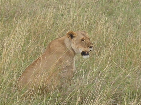 Lioness, still panting after just killing a zebra...........