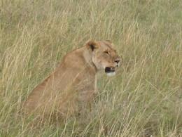 Lioness, still panting after just killing a zebra...........