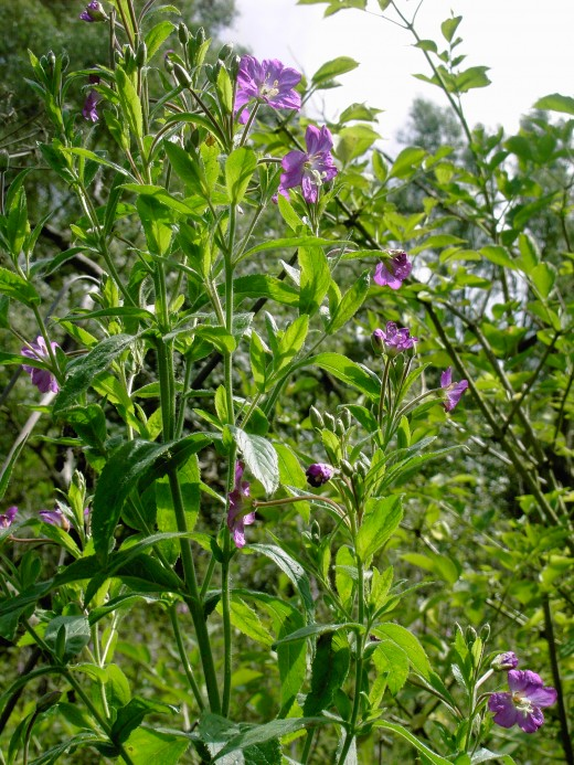 The greater willowherb has toxic tendencies despite its beauty.