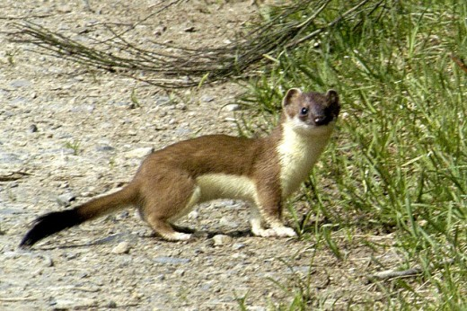 The stoat is a beautiful animal, but they are elusive and rarely encountered,Photograph courtesy of James Linsey.