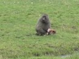 Adult male olive baboon eating a baby Thompson's gazelle