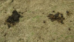 Invasion of the Cow Patties: Manure Attack!