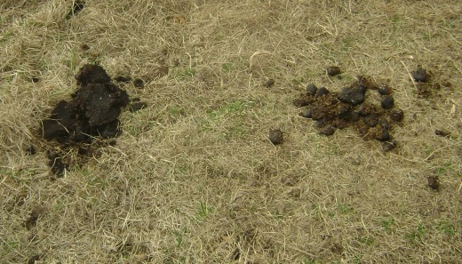 Cow Dung,left...Horse Manure, right.