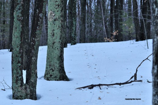 The melting snow exposed tree litter that had been covered and the weight of the moisture and the effect of light wind brought down a branch on a ski trail in the yard.