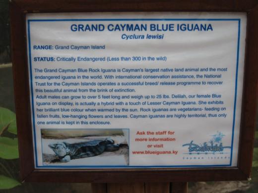 Blue Iguana Information