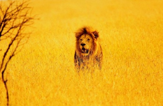 Lion in field.