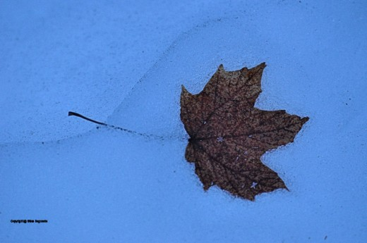 I haven't seen many maple leaves since the snow arrived, so this one,in fine shape, took me by surprise.