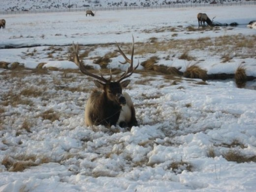 A beautiful elk at the National Elk Refuge