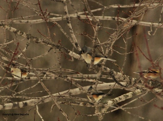 Tufted titmice sit amongst branches of a maple near the feeders.