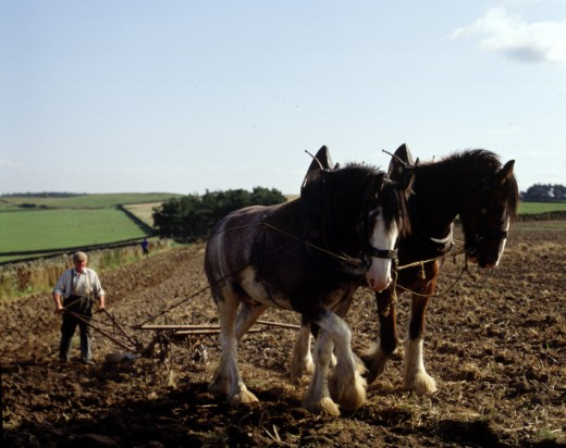 HORSES PULL MOULDBOARD PLOUGH AS IN 1200
