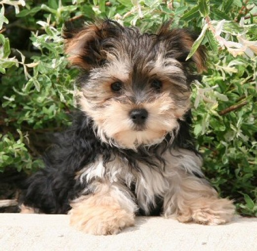 Morkie Breeders with Morkie puppies