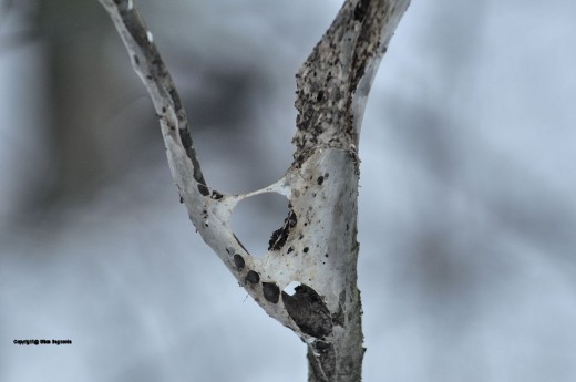 A relic of this past summer -- the remains of a bagoworm web -- cling to a choke cherry trunk.