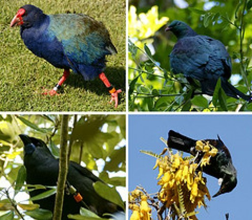 Some of New Zealands other Native Birds