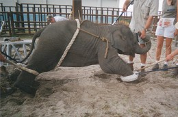 'Barack' a baby elephant born at Ringling Bros. Circus. This is the first few weeks of training.