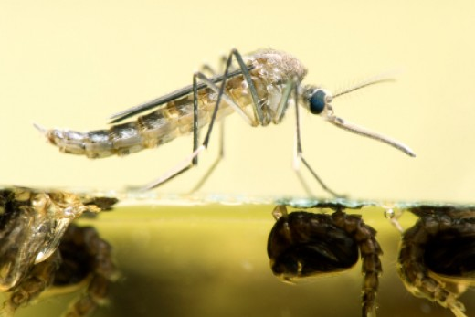 Mosquitoes & Larvae