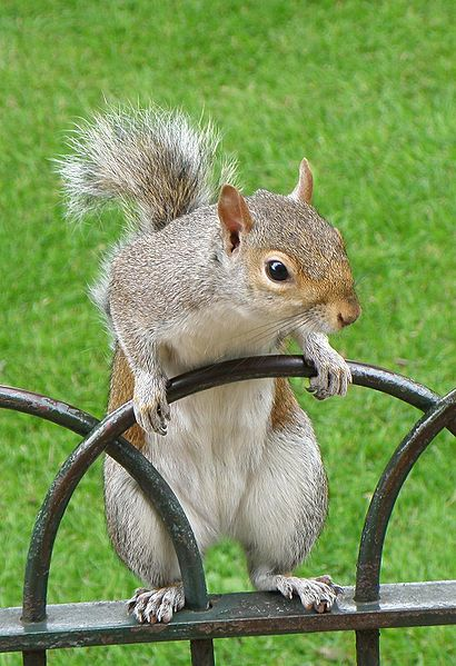 Grey squirrel in St James's Park, London