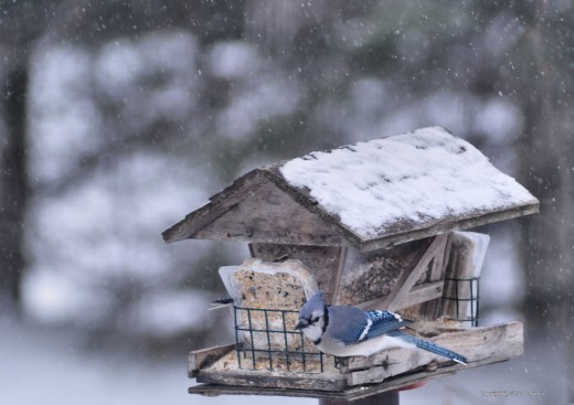 A blue jay stops at the feeder. Jays and crows made a racket in the woods at noon.