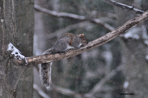 A relaxed squirrel hangs out and chills, squirrel style. It stayed in this position, with tail hanging and nose pressed to the limb unmoving, for several minutes.