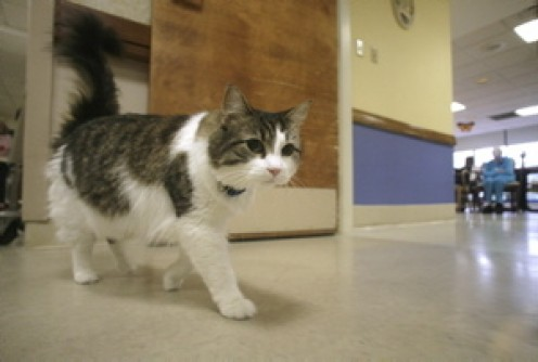 In this July 23, 2007 file photo, Oscar, a hospice cat with an uncanny knack for predicting when nursing home patients are going to die, walks past an activity room at the Steere House Nursing and Rehabilitation Center in Providence, R.I. Dr. David D