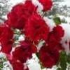 rosesinsnow profile image