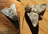 the adult moths of the processionary caterpillars