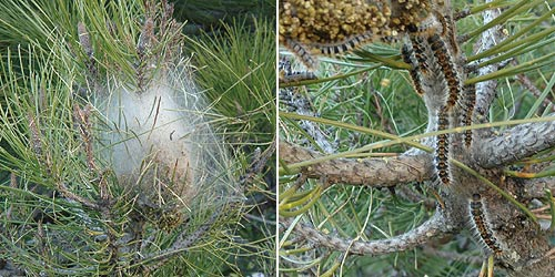 typical processionary caterpillar nest in pine tree