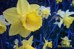 The Dafodil is also known as the lent lily, as it flowers at the time of lent.