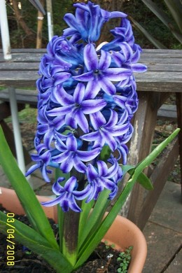 For the best smelling hyacinths grow blue ones