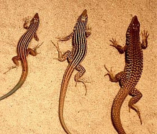 Whiptail lizards
