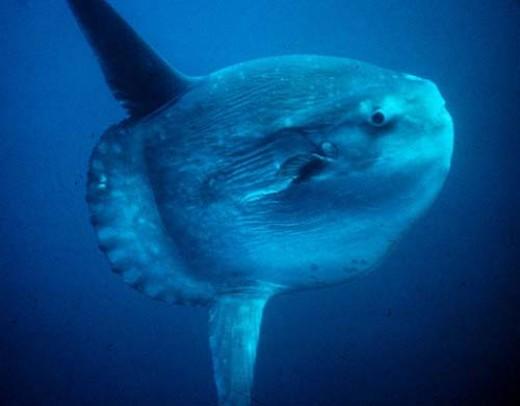 Large Ocean Sunfish