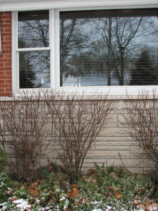 These Barberry Bushes are one of my old -time favorites but they can be a real live pain in the a&& when it comes time to wash the windows on the outside.