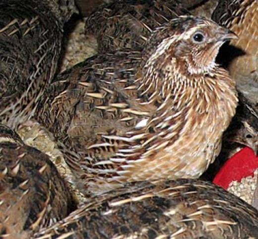 Male quail http://farmingfriends.com/