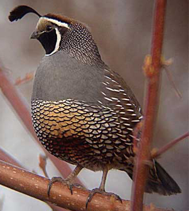Quail-California State Bird
