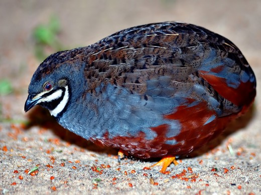 Blue-breasted quail