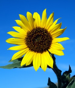 Why Don't You Pick the Sunflower to Communicate That You Care?
