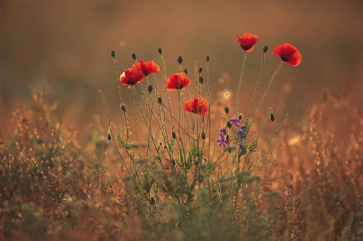 Perhaps we could walk and talk in this field of Poppies.