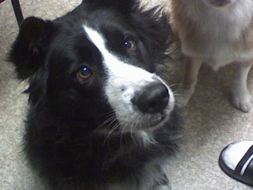 This is Simon, my border collie. I also have a caramel and white border collie named Karma.