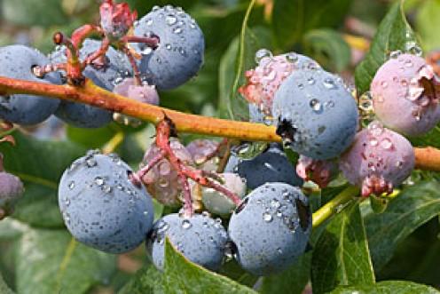 Photo at Bowerman Blueberries #1 Simply -blueberries.com